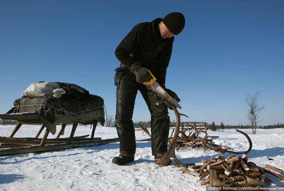 Петрович делает запас дров в чуме. Хорошо, если стойбище стоит рядом с небольшим, но лесом. Есл