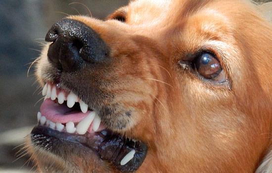 Пятилетнего ребенка вКунгуре искусала бойцовая собачка