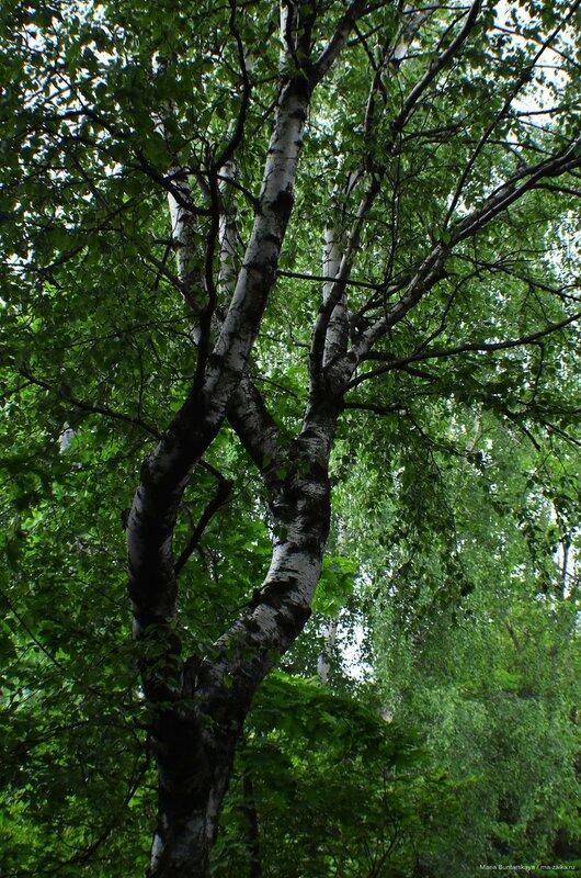 Дендрологический сад имени С. Ф. Харитонова, Переславль Залесский, 09 июня 2015 года