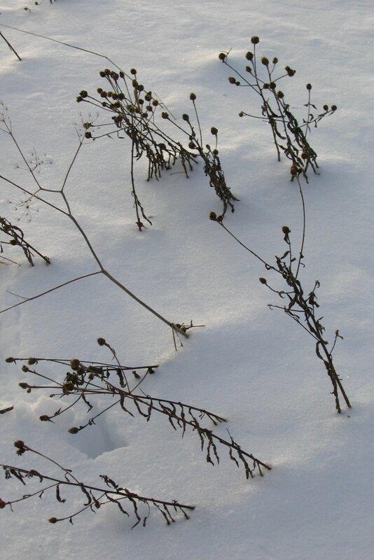 Сухоцветы под снегом