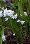 Пушкиния пролесковидная (Puschkinia scilloides), семейство лилейные