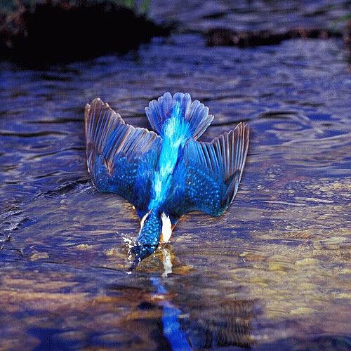 KingFisher - зимородок