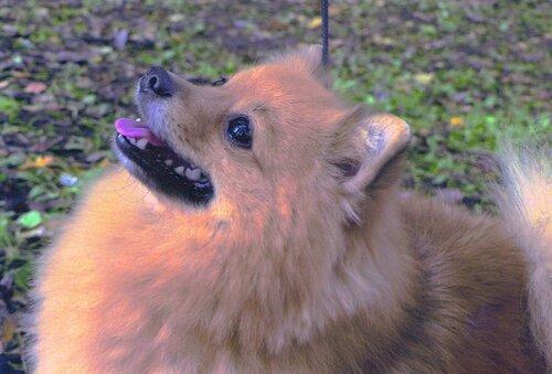 шпиц чудо волк байфаль