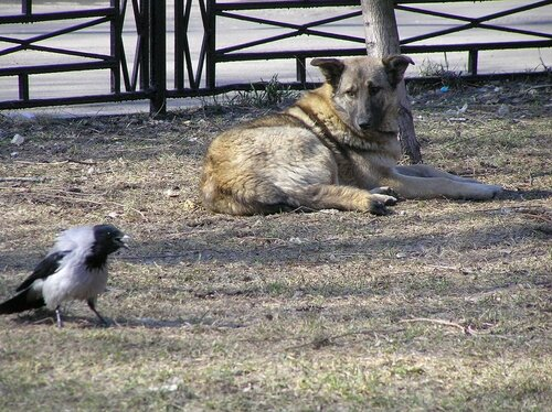 Ворона и собака-8.