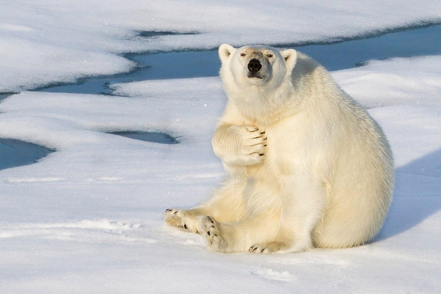 Открытки. С Днем полярника! Поздравляю! День белого медведя!