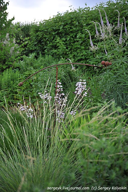 Penstemon digitalis Husker Red.JPG