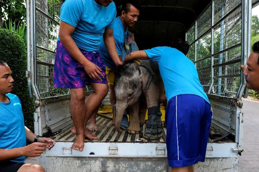 На лечение слониху возят на грузовичке.