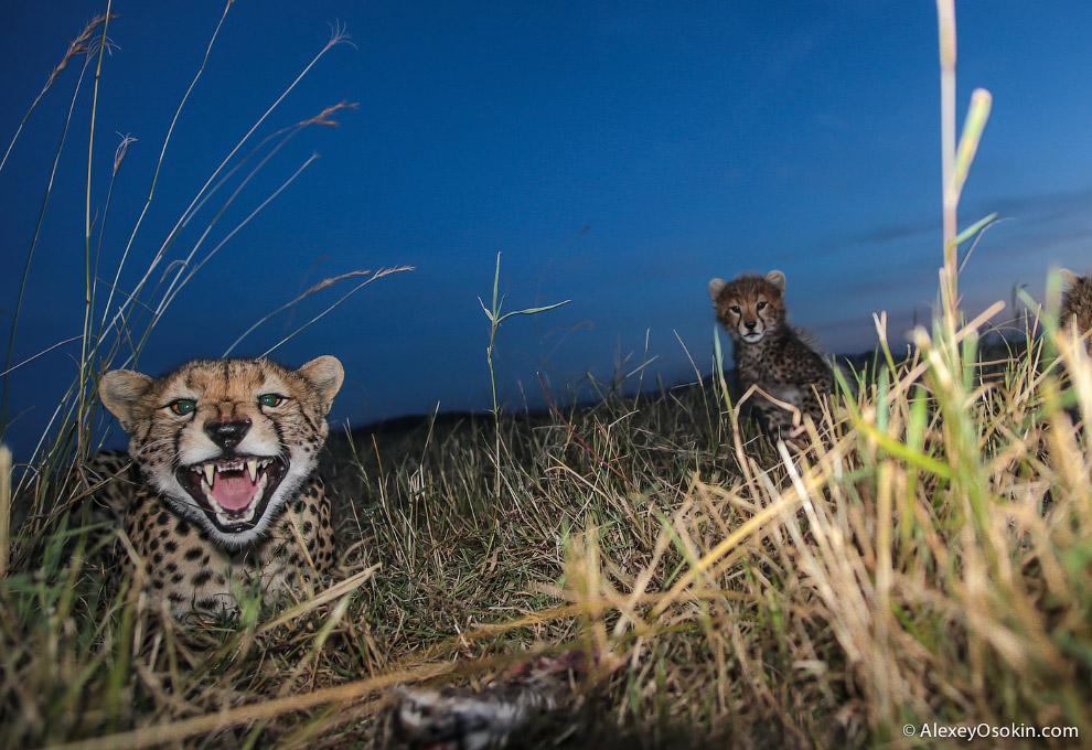 2. Во время бега голова гепарда хорошо стабилизирована за счет строения позвоночника. Это позво