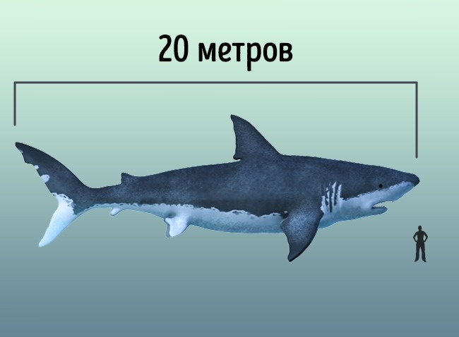 © wikimedia  Мегалодоны были сверххищниками, жившими 3–28 млн лет назад. Один только зуб мегал