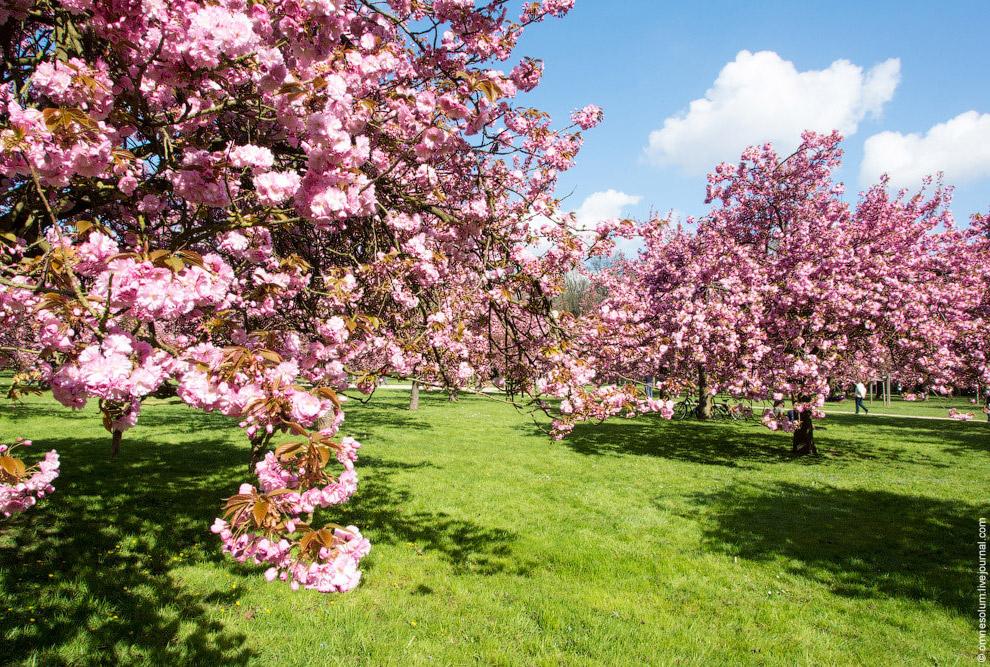 Цветы сакуры распускаются всего на несколько недель и опадают, не успев завянуть. Точно так же