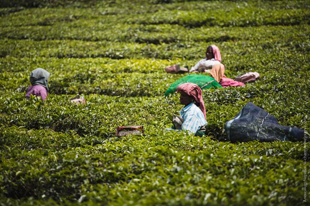 Собранный чай доставляют на находящуюся недалеко фабрику для обработки.