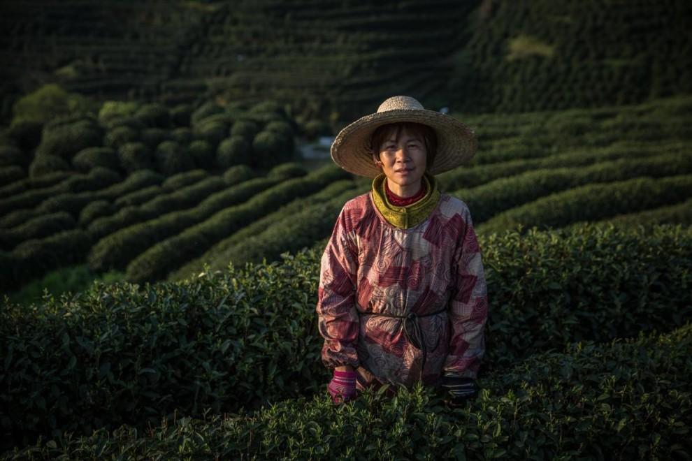 Сезонные работницы высыпают листья чая лунцзин, собранные на плантации в окрестностях Ханчжоу в пров