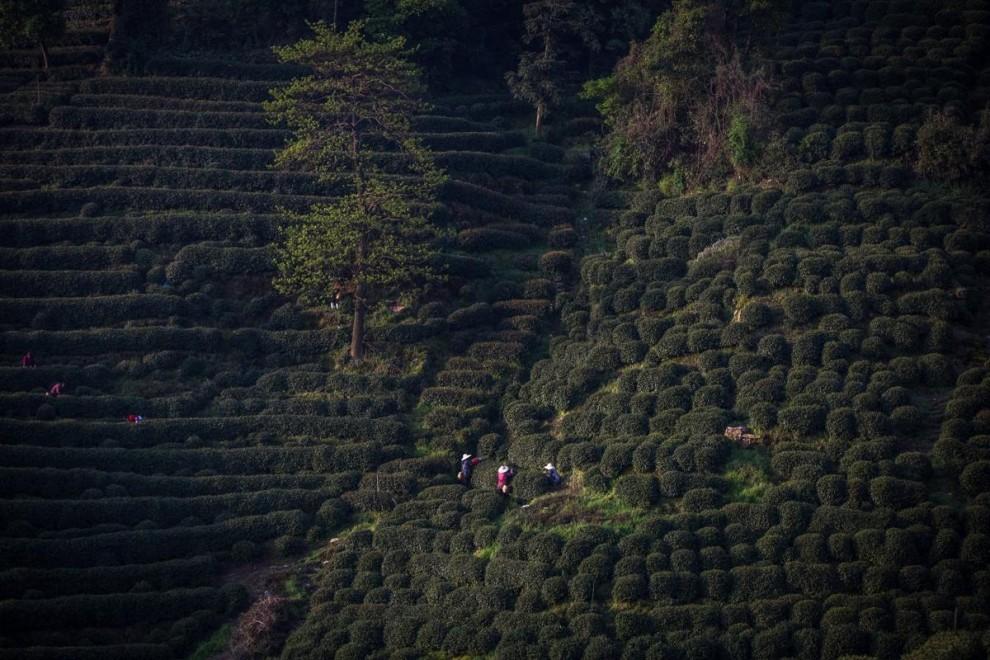 Работники чайной компании в городе Цзуньи в провинции Гуйчжоу.