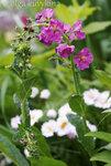 Коровяк фиолетовый из семян