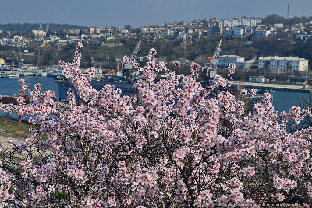 Фото крым цветущий миндаль