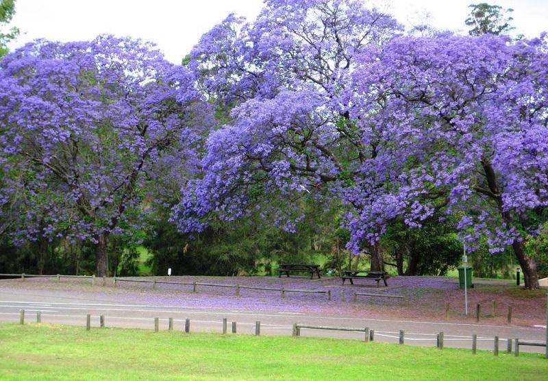 árbol de violeta