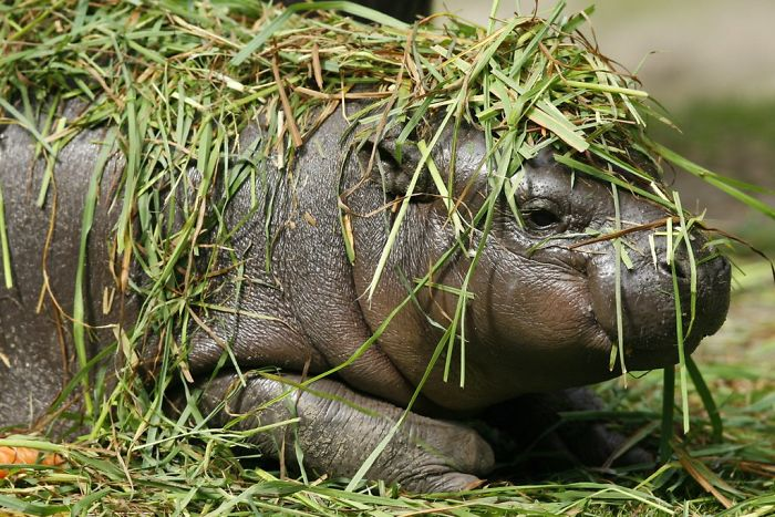 Обладая огромными легкими, бегемот может задерживать дыхание до пяти минут. А пасть открывает на 120