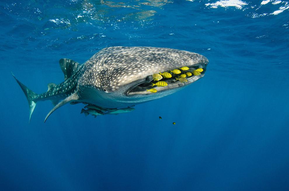 9. Долгое время китовая акула оставалась неизвестна науке. Её встречали лишь моряки, плававшие в тро