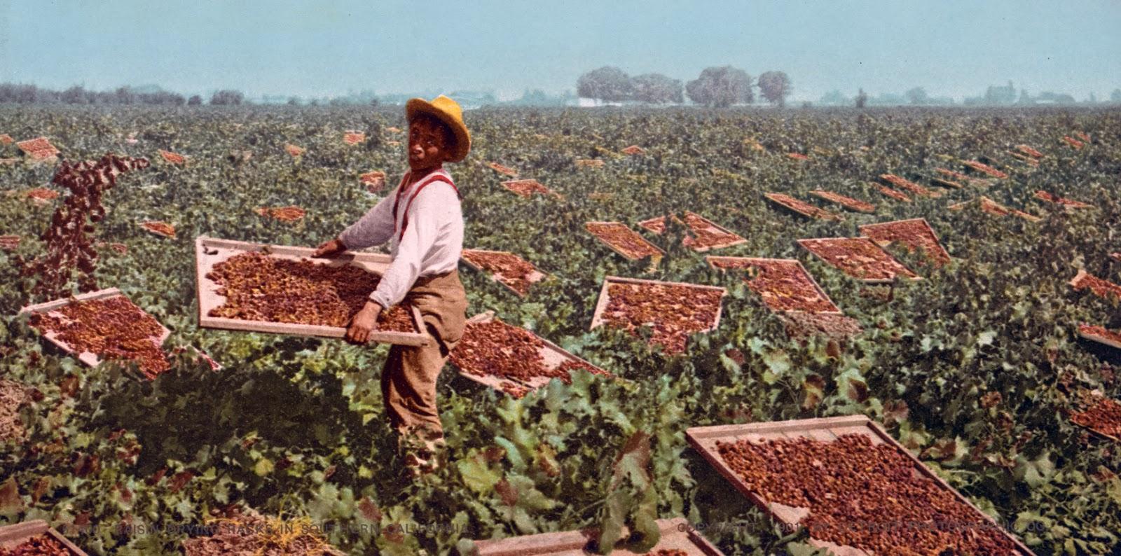 Raisin drying racks in Southern California, ca. 1901.jpg