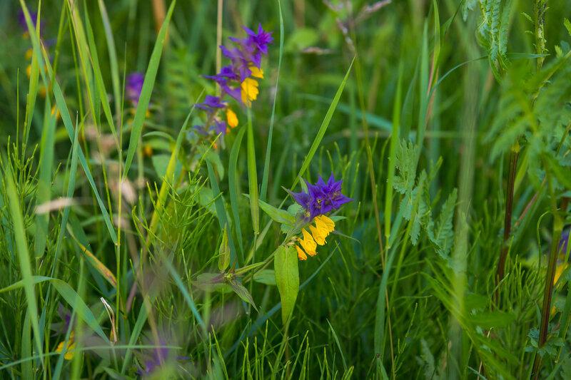 цветы полевые, иван-да-марья