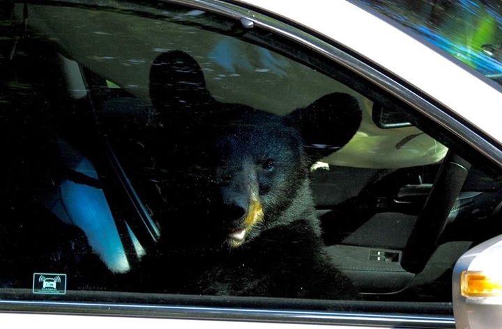 Медведь похозяйничал в автомобиле американца