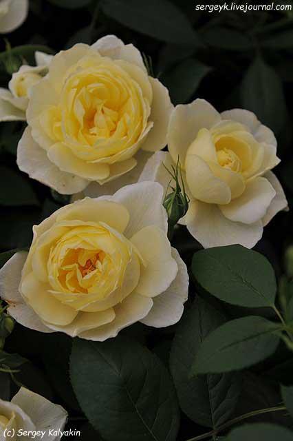 Rosa Vanessa Bell (6).JPG
