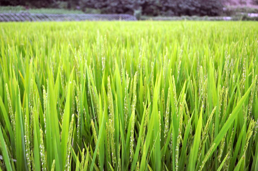 Дагестан наращивает рисовые чеки