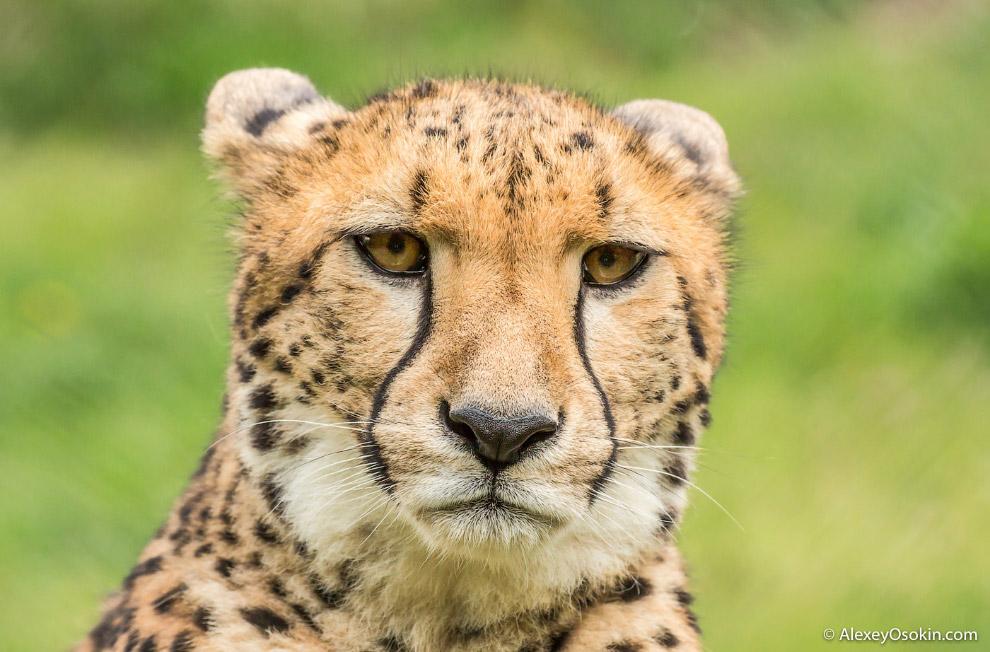 7. А грозный уссурийский тигр — в душе милый котик.