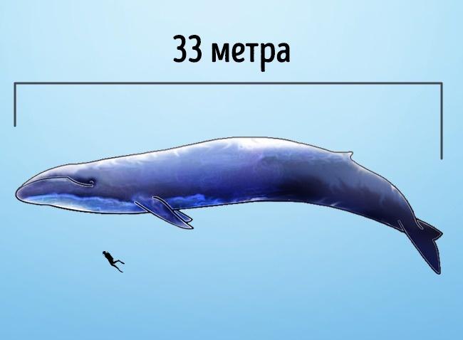 © wikimedia  Синий кит (иногда его называют голубой кит, или блювал)— самое большое животное