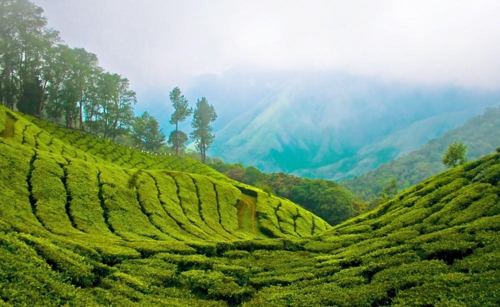 2. Крупнейшая чайная плантация Индии Муннар.