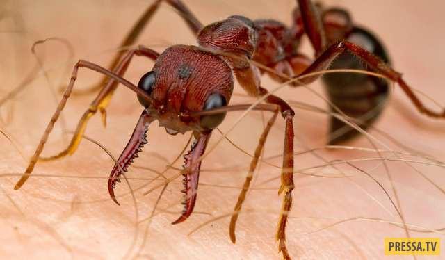 Муравьи-бульдоги являются одними из самых крупных и самых агрессивных видов муравьев на планете. У н