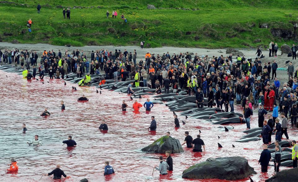 На кровавых берегах: фарерцы снова зверски убивают сотни дельфинов