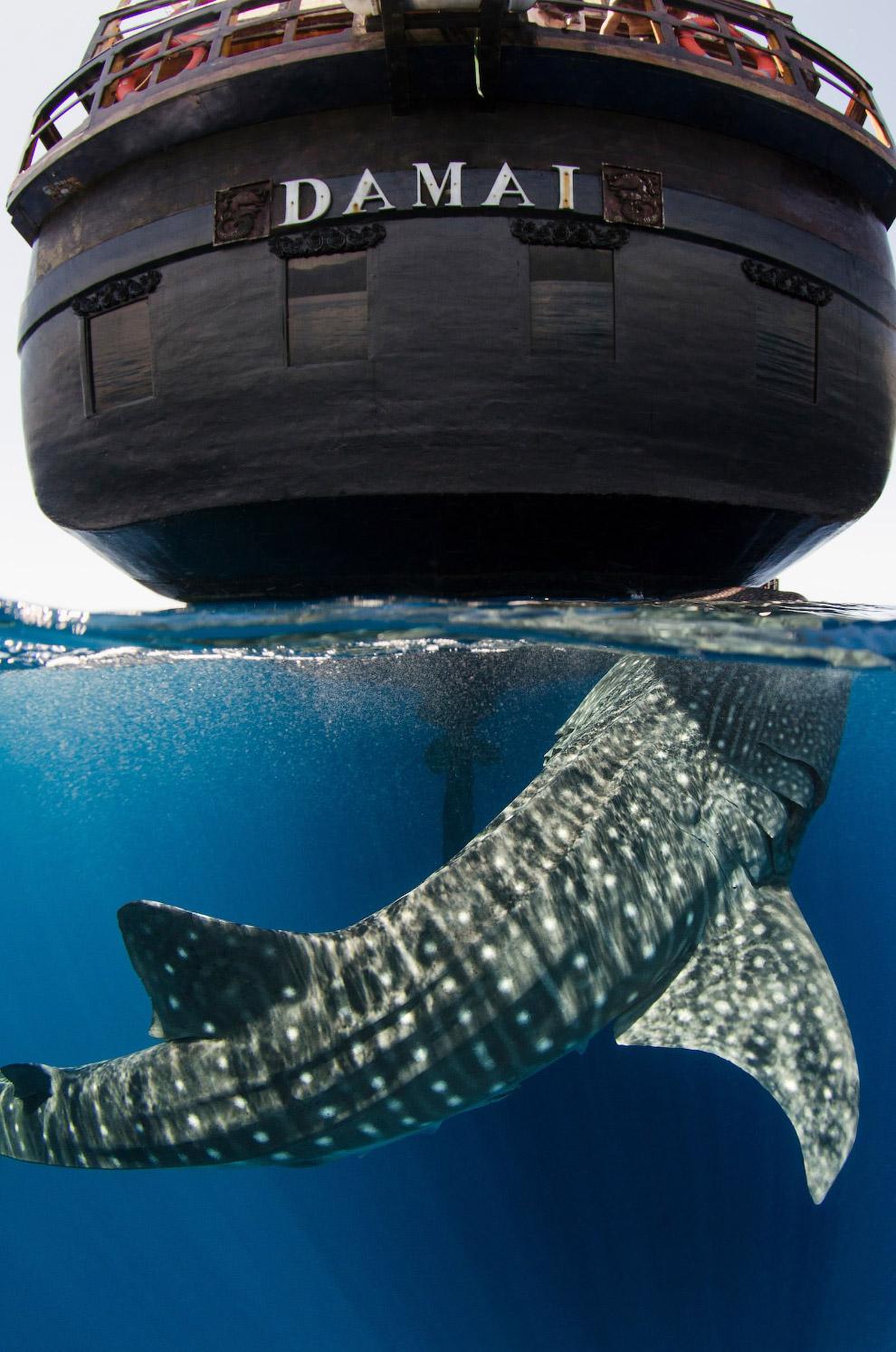 8. Китовая акула — редкий вид, численность которого и раньше не была велика, а в последние десятилет