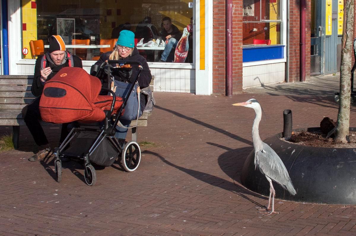 Иди сюда, моя цыпочка!: Цапля на улице датской столицы