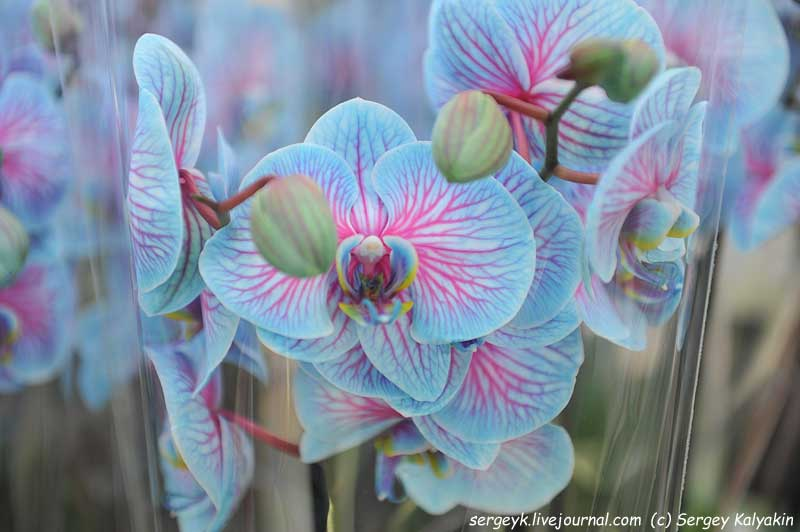 Phalaenopsis Wonder of Nature Blue (1).JPG