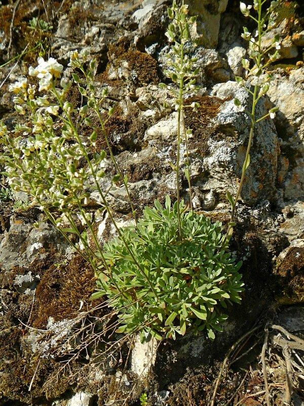 Шиверекия подольская (Schivereckia podolica) краснокнижное растение с ланцетовидными листьями и небольшими белыми цветками из семейства капустных, растущее на известняковых скалах