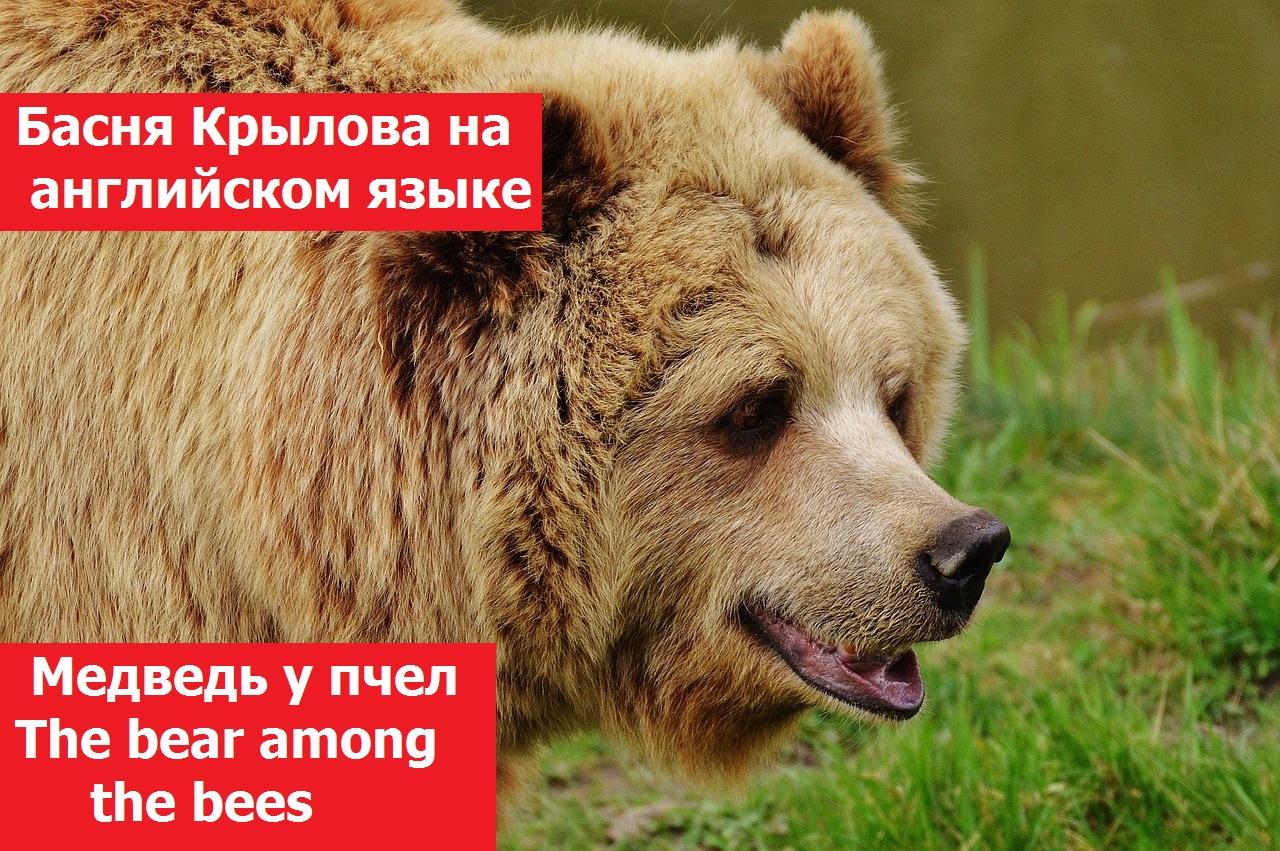 Басня Крылова на английском языке, Медведь у пчел. The bear among the bees. Аудиозапись и текст