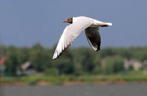 Полёт чайки над Камой