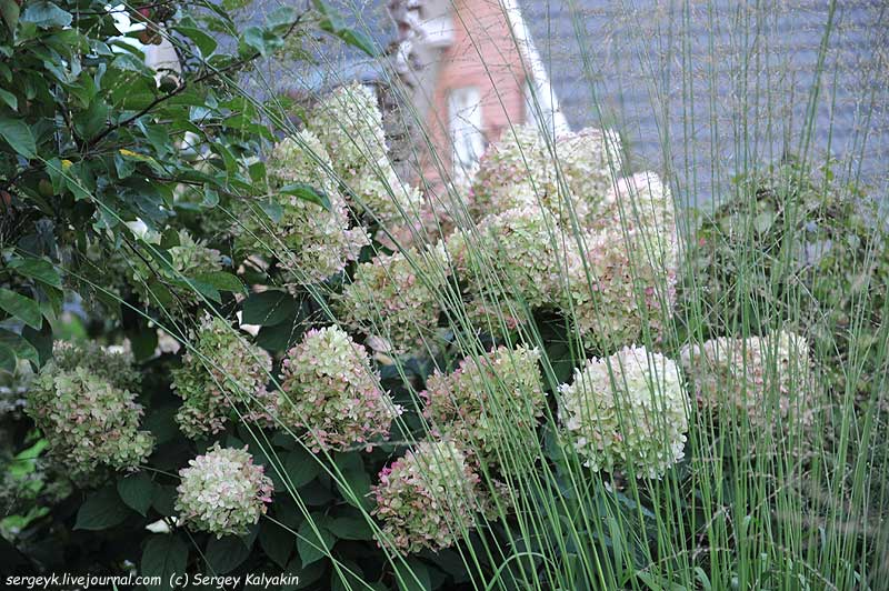 Hydrangea paniculata Limelight (1).JPG