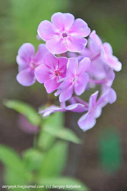 Phlox paniculata Vasilek.JPG