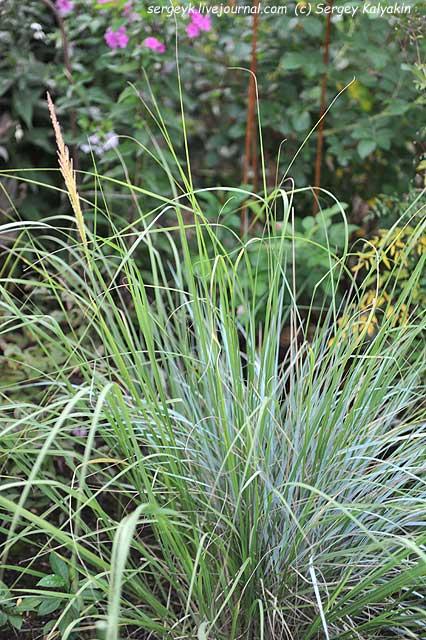 Sporobolus wrightii (1).JPG