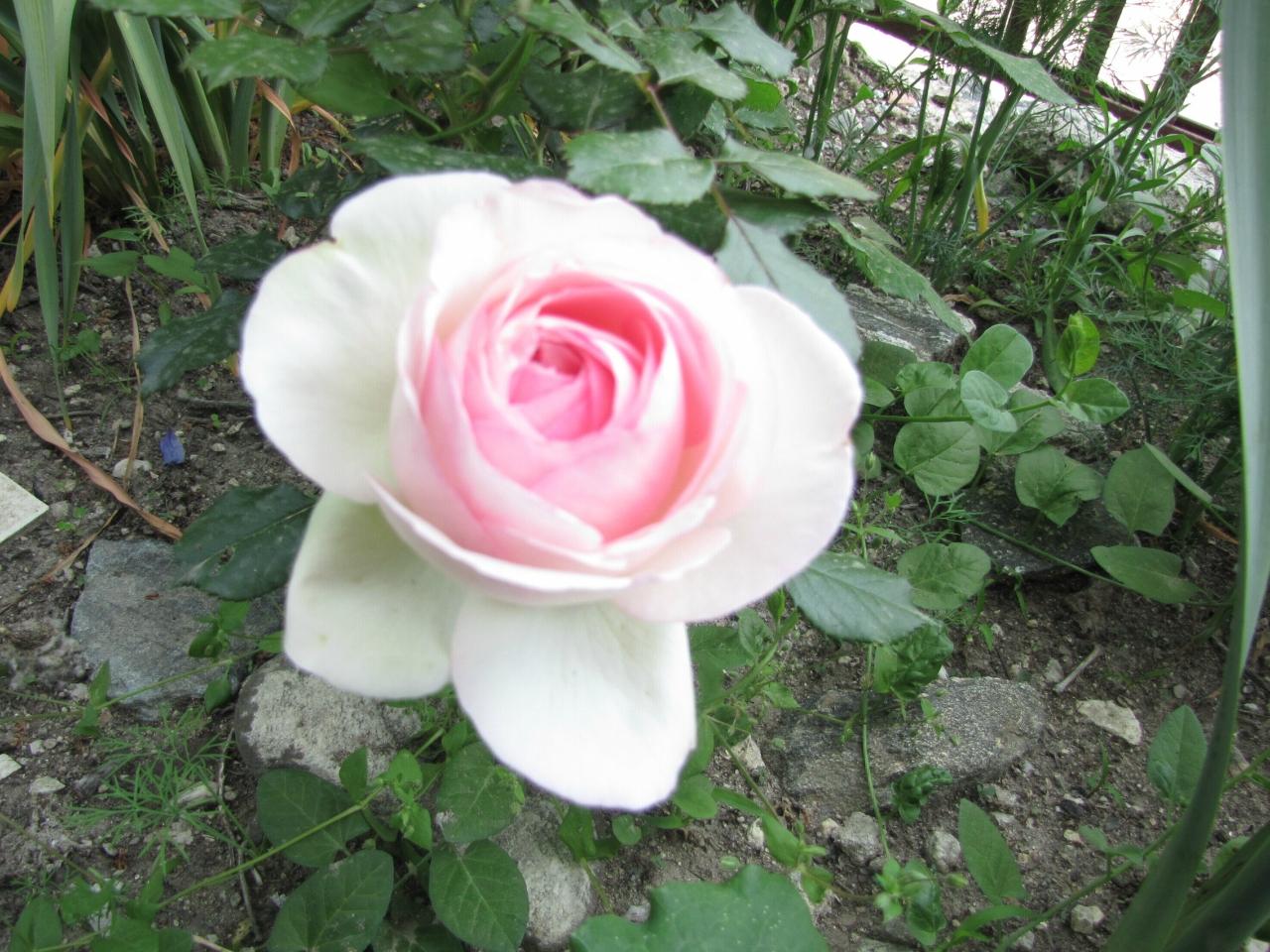 История розы