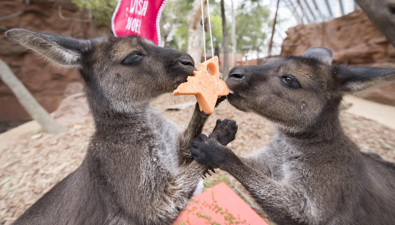 Животным тоже не чужды праздники: кенгуру в зоопарке Сиднея.