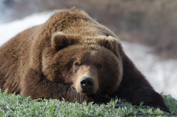 Медведь в Долине гейзеров (18 фото)