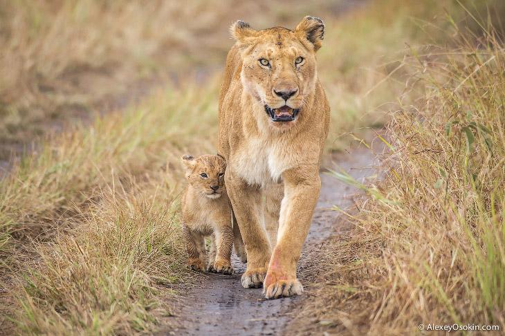Африканские львы. Четыре года съемок. (35 фото)