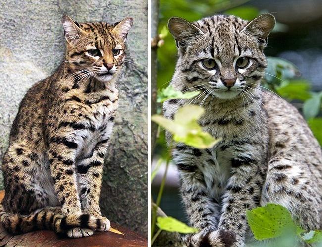 © wikipedia  © eastnews     Размеры кошки Жоффруа, обитающей вюжной части Южноамер