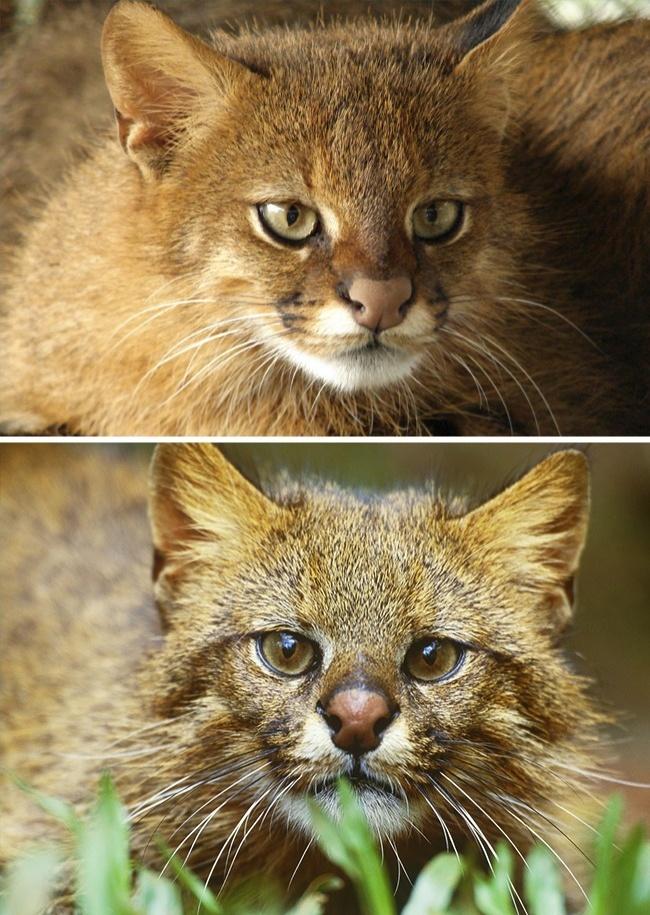 © Marcio Motta/flickr  © eastnews     Пампасские кошки, обитающие вЮжной Америке,