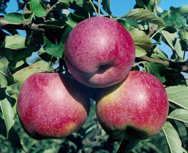 Ученые: одно яблоко вдень защитит сердце отнедугов