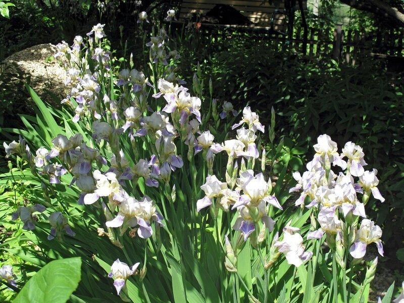 Ирисы весенне-летние