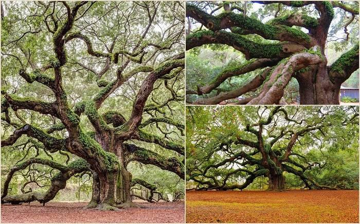 В США в штате Южная Каролина вот уже 1500 лет растет дуб, который именуется Дубом Ангела. Примерная